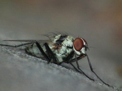 adult-root-maggot-fly