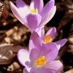 crocus-flowers