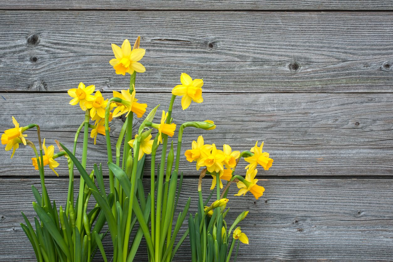 Care Of Daffodils - Planting Daffodils In The Garden