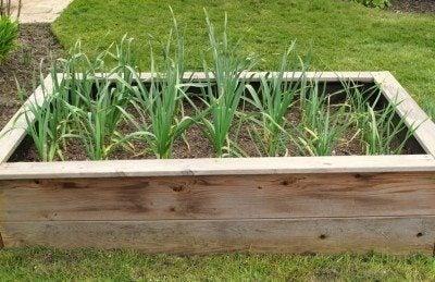 tips for growing garlic. Black Bedroom Furniture Sets. Home Design Ideas