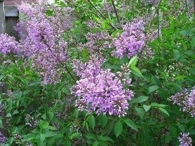 lilac-bush