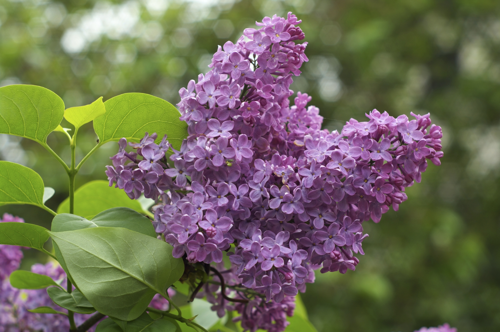 Tips For Growing Lilac...