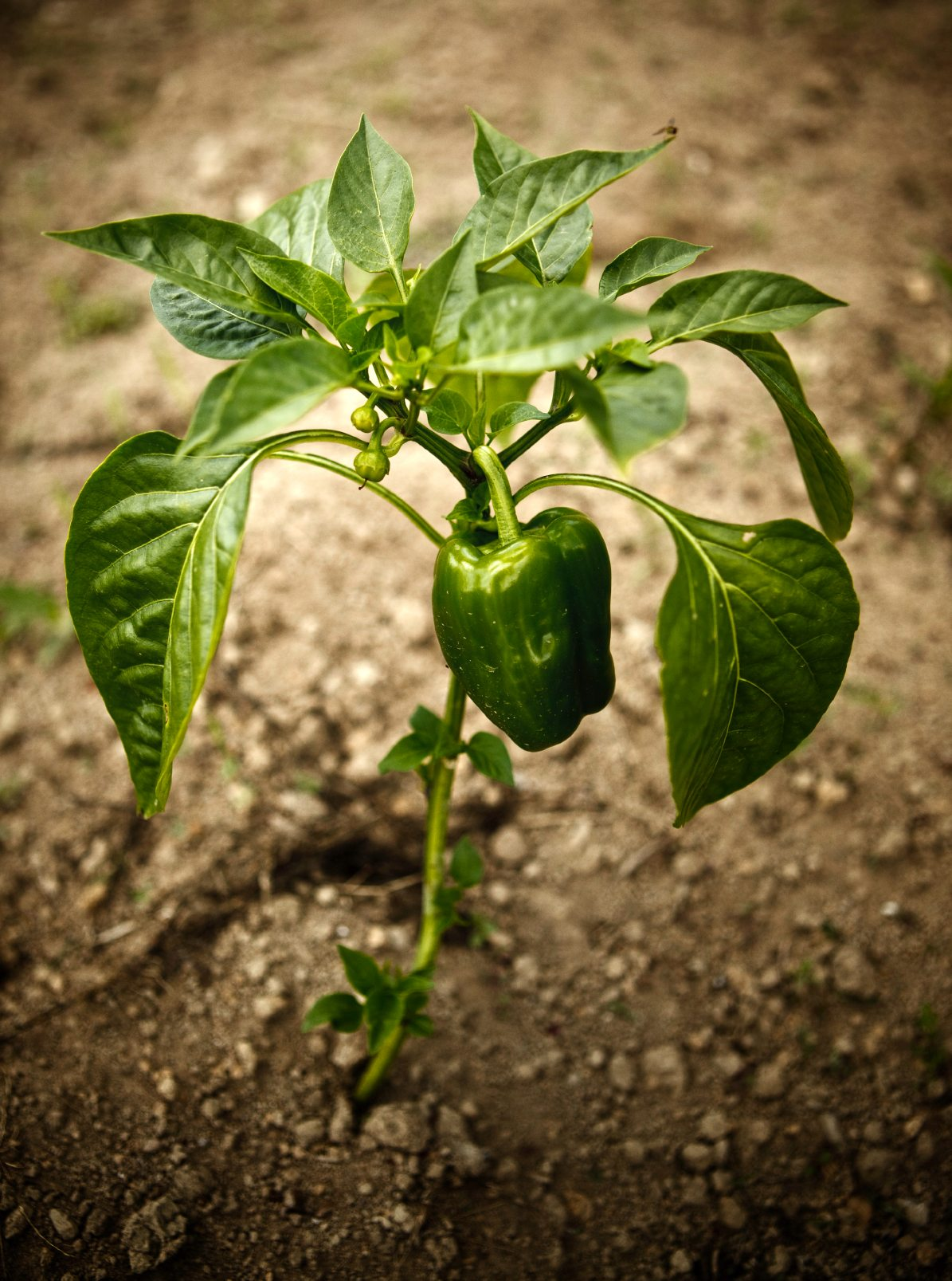 Learn About Common Pepper Plant Problems