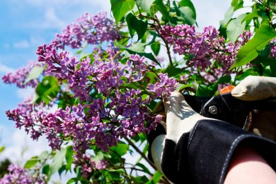 When and how to prune a lilac bush pruning lilac bushes when to trim lilac bushes mightylinksfo
