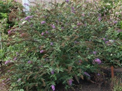 butterfly-bush-planting