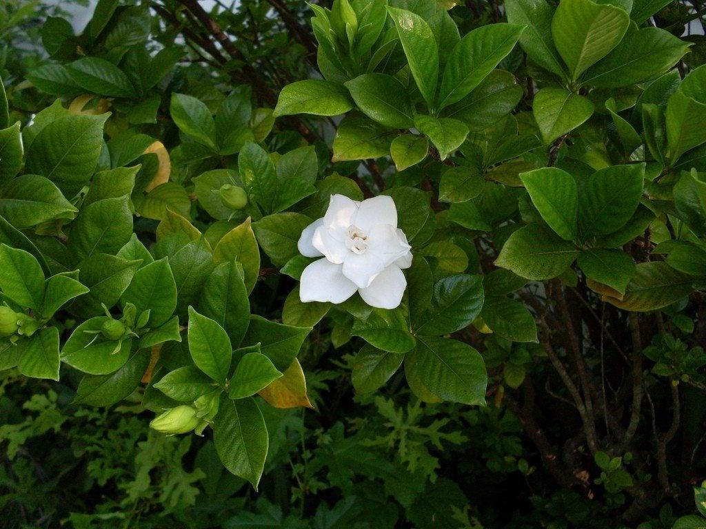 Garden Bud Drop Why Do Gardenia Buds Fall From Plant
