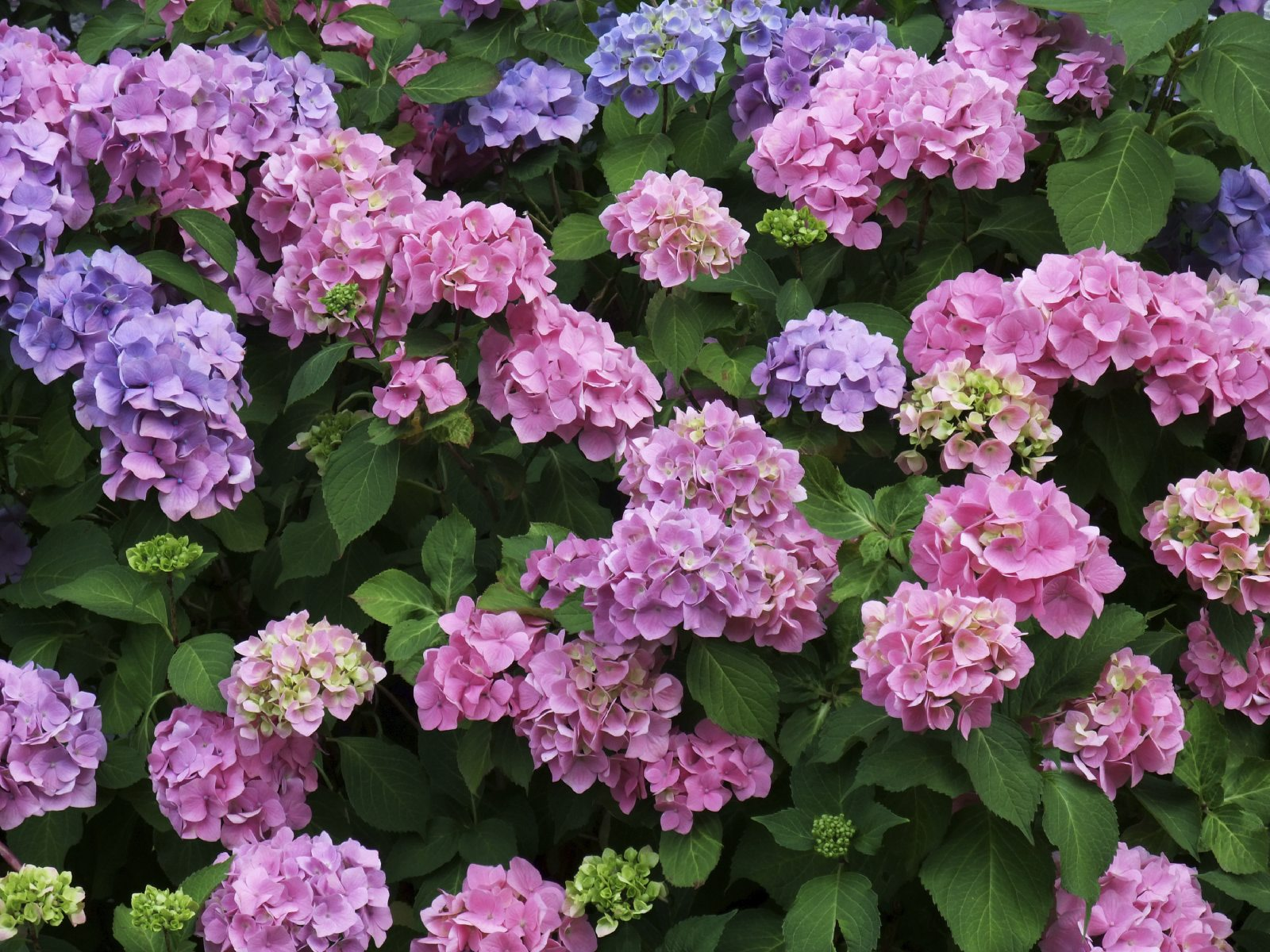 How to grow and care for hydrangeas - Caring hydrangea garden ...