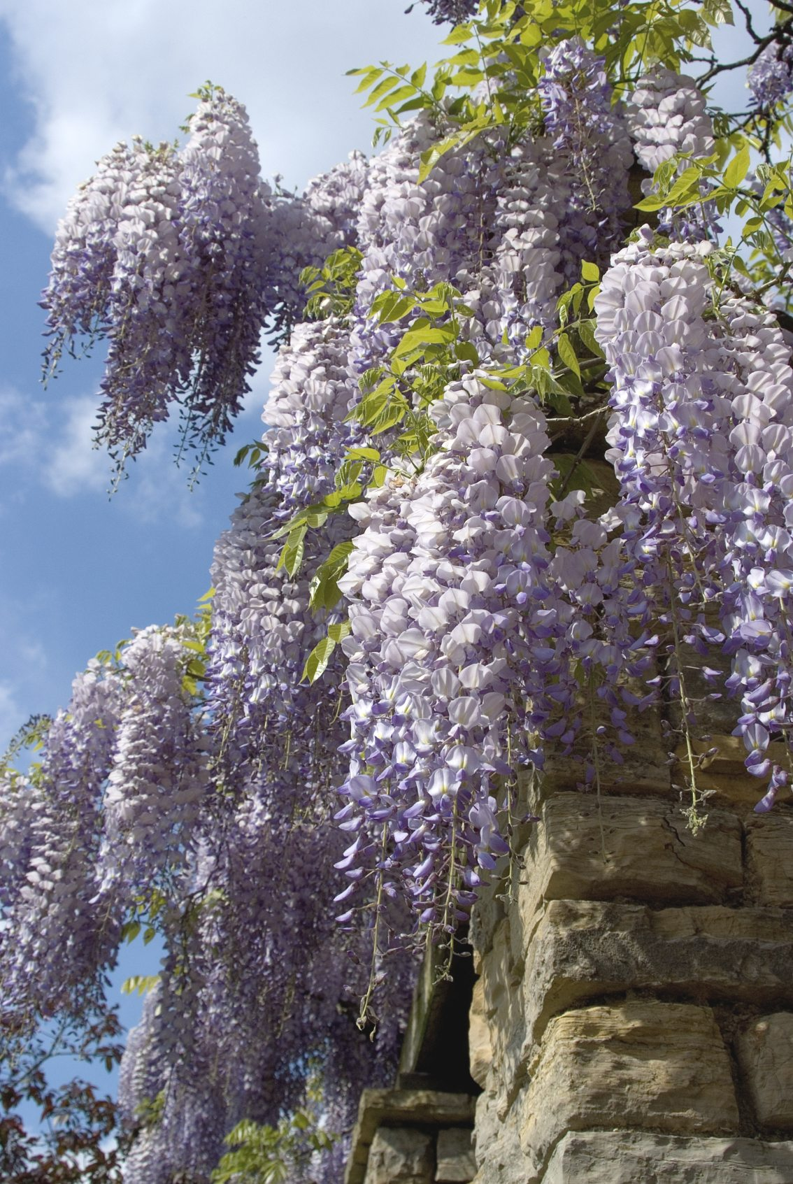 Wisteria Vine Learn How To Gr...
