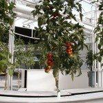aeroponic-tomatoes