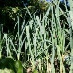 garden-leeks