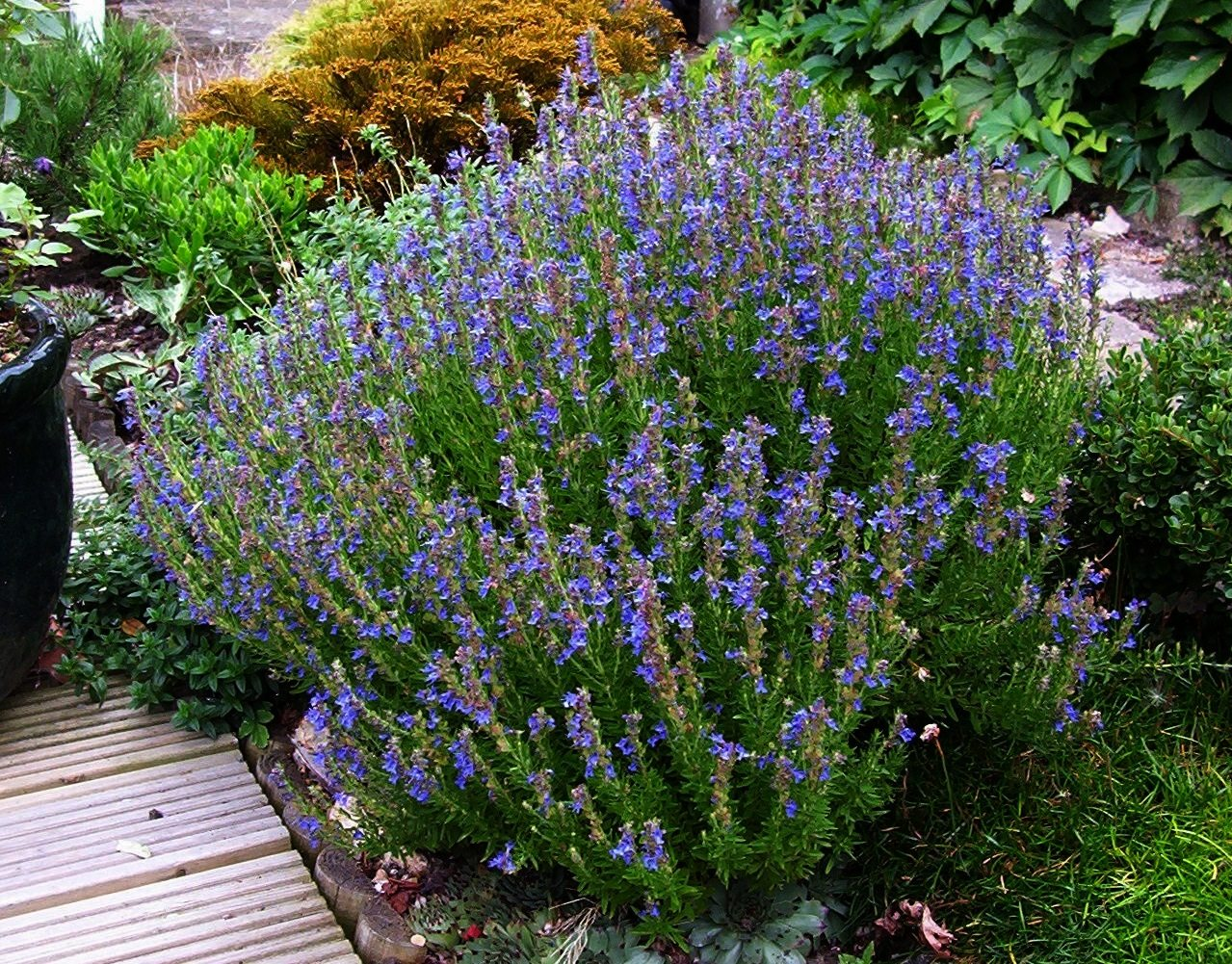 How To Grow Hyssop Plants