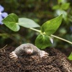 Mole on a heap of soil in a garden