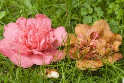 Identifying And Fixing Problems With Camellias