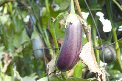 eggplant-growing