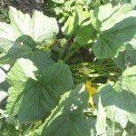 zucchini-leaves