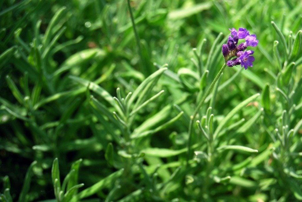 tips for growing lavender herb plants. Black Bedroom Furniture Sets. Home Design Ideas
