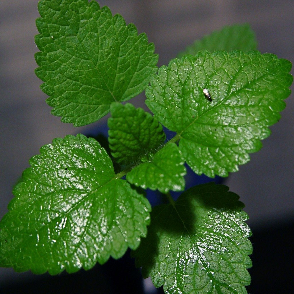 tips on growing mint in the garden. Black Bedroom Furniture Sets. Home Design Ideas