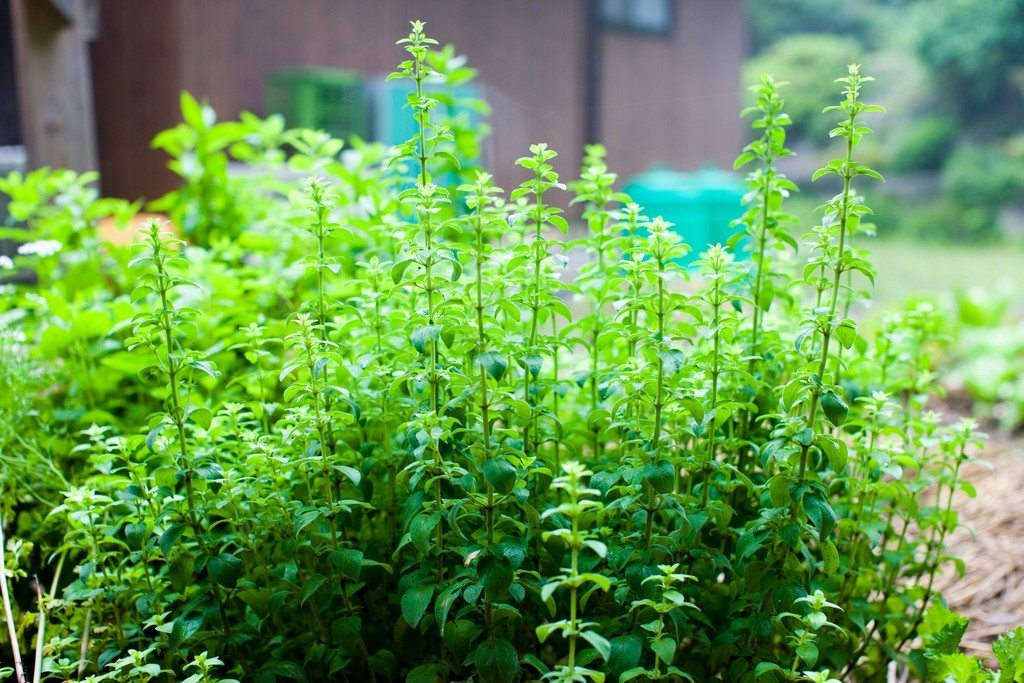How To Grow Marjoram - Herb Gardening Guide - Questions