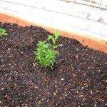 tarragon-herb