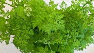 Chervil – growing the chervil herb in your garden