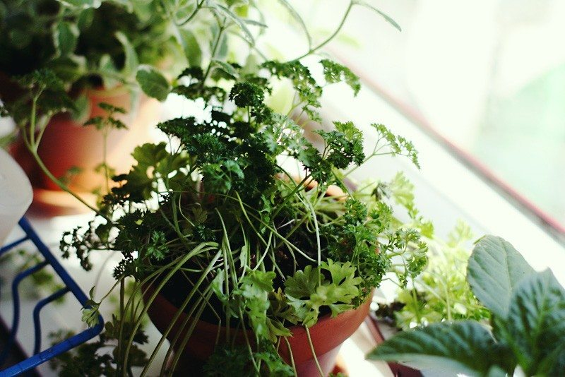 How to grow an indoor window sill herb garden for How to grow an indoor herb garden