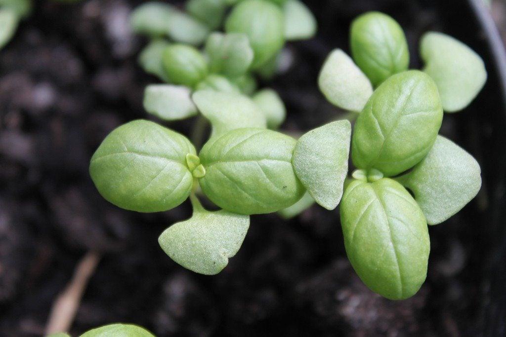 information on growing basil seeds. Black Bedroom Furniture Sets. Home Design Ideas