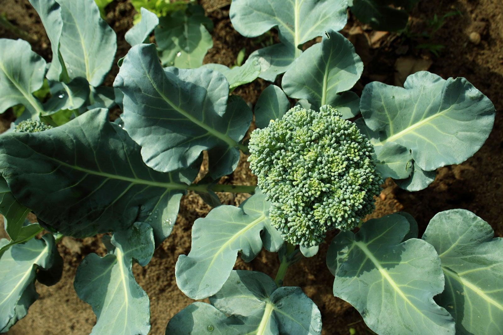 GROW COOK EAT – Broccoli