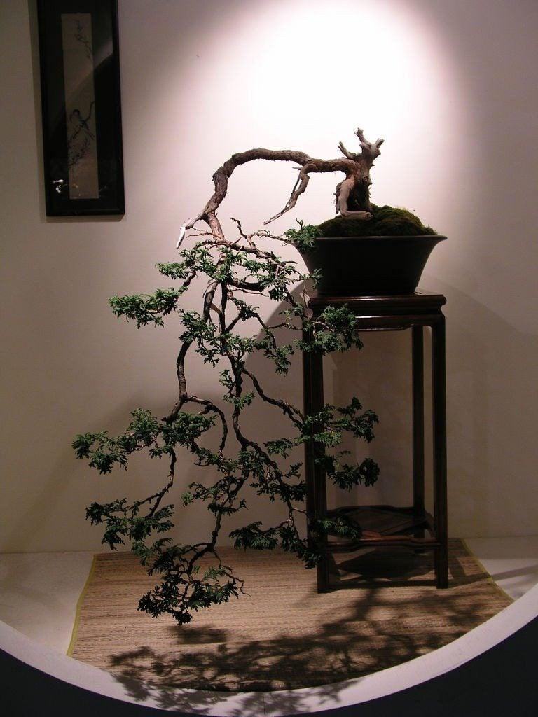 cascading bonsais  tips for shaping a cascade bonsai form