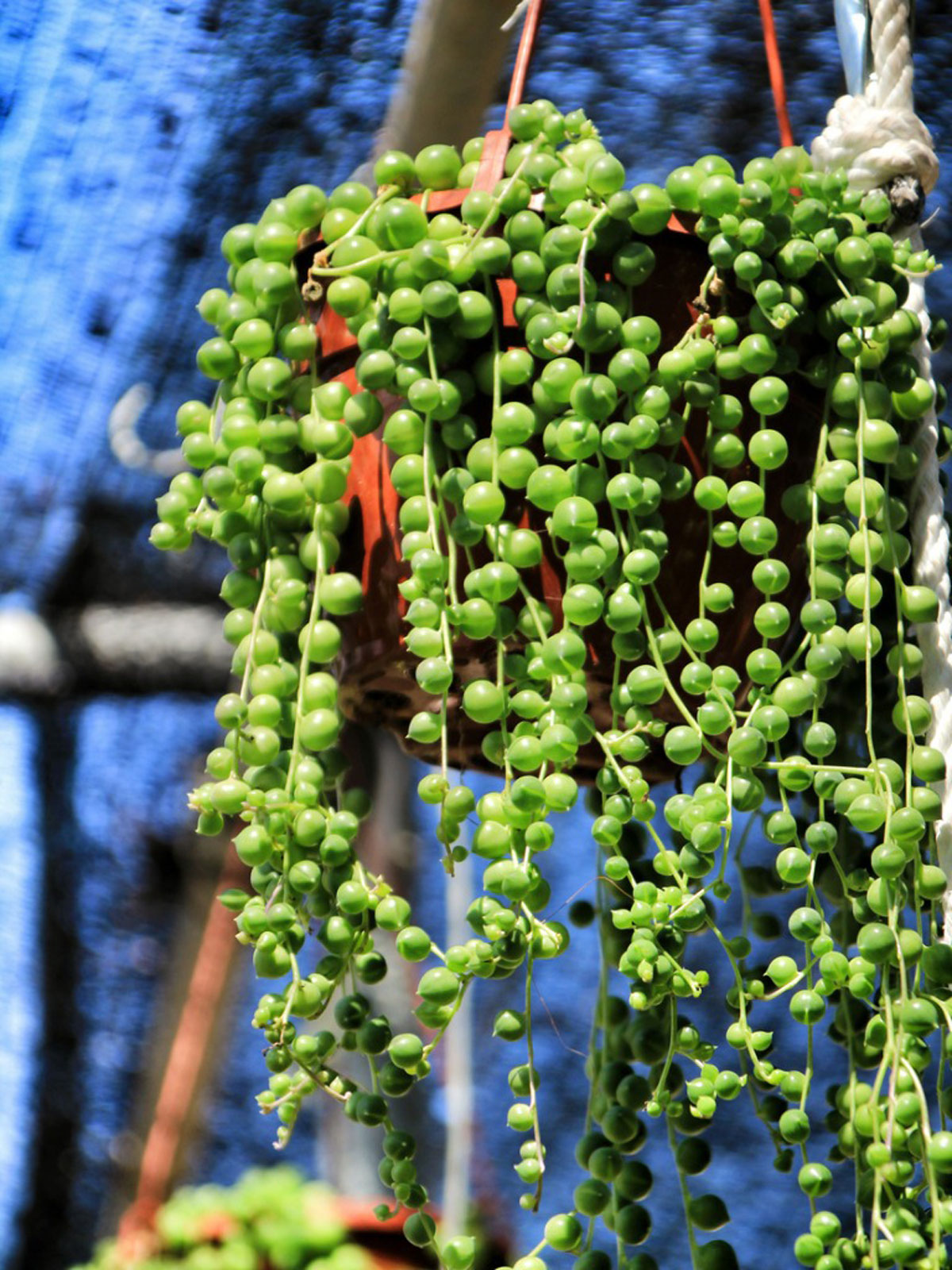 What Are Some Hanging Succulent Plants