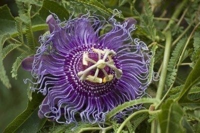 Over Wintering Passion Flower Vine Indoors