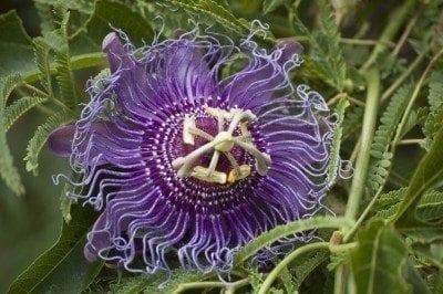 passion-flower-plant