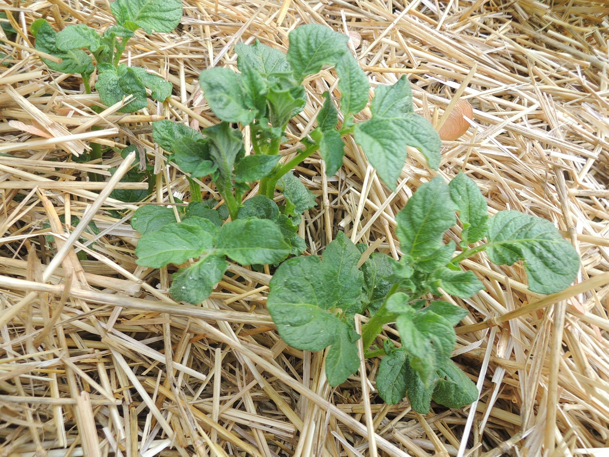 Information On Planting Potatoes In Straw