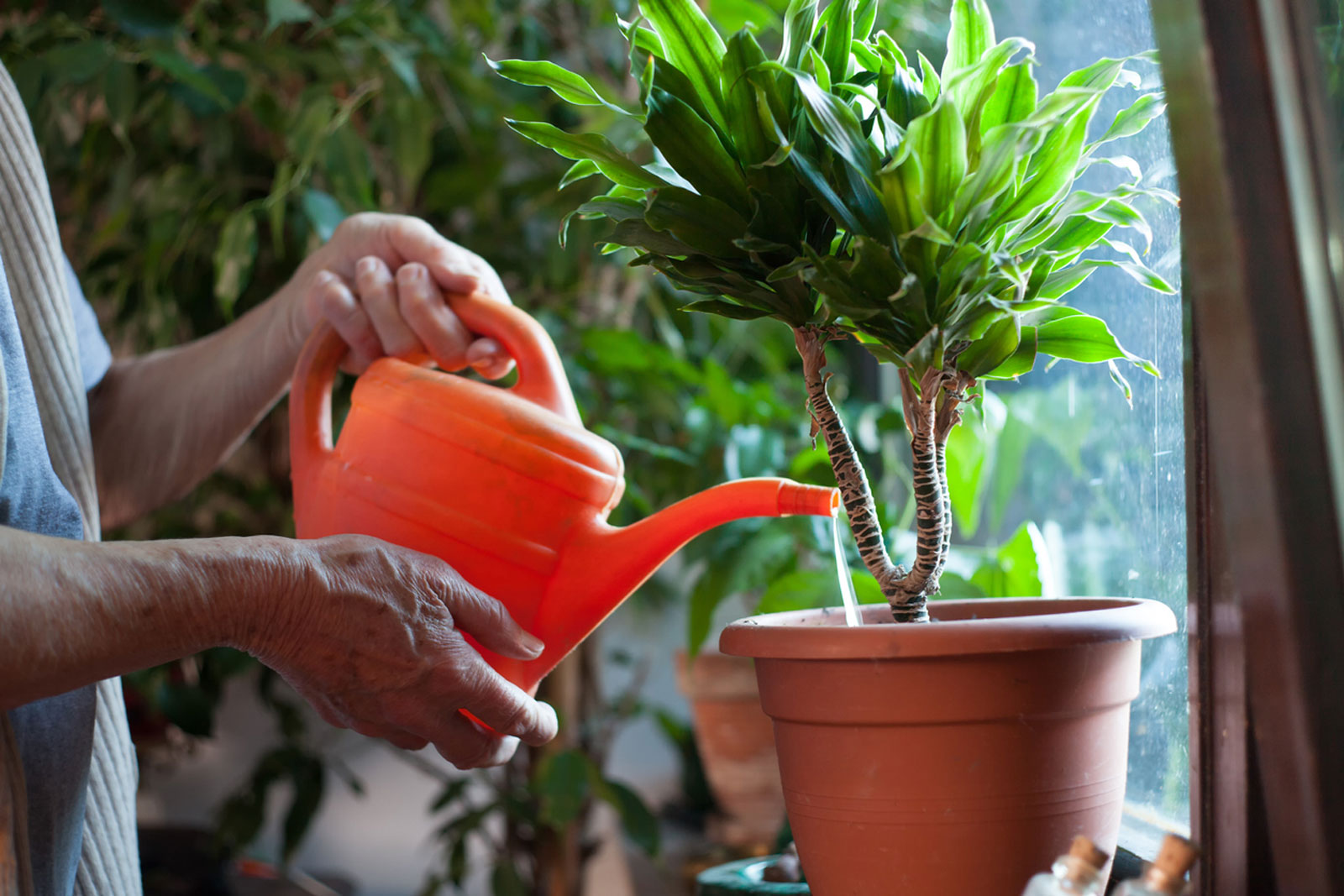 How To Water A Houseplant – Learn The Basics Of Watering A Houseplant