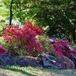 azalea-plants