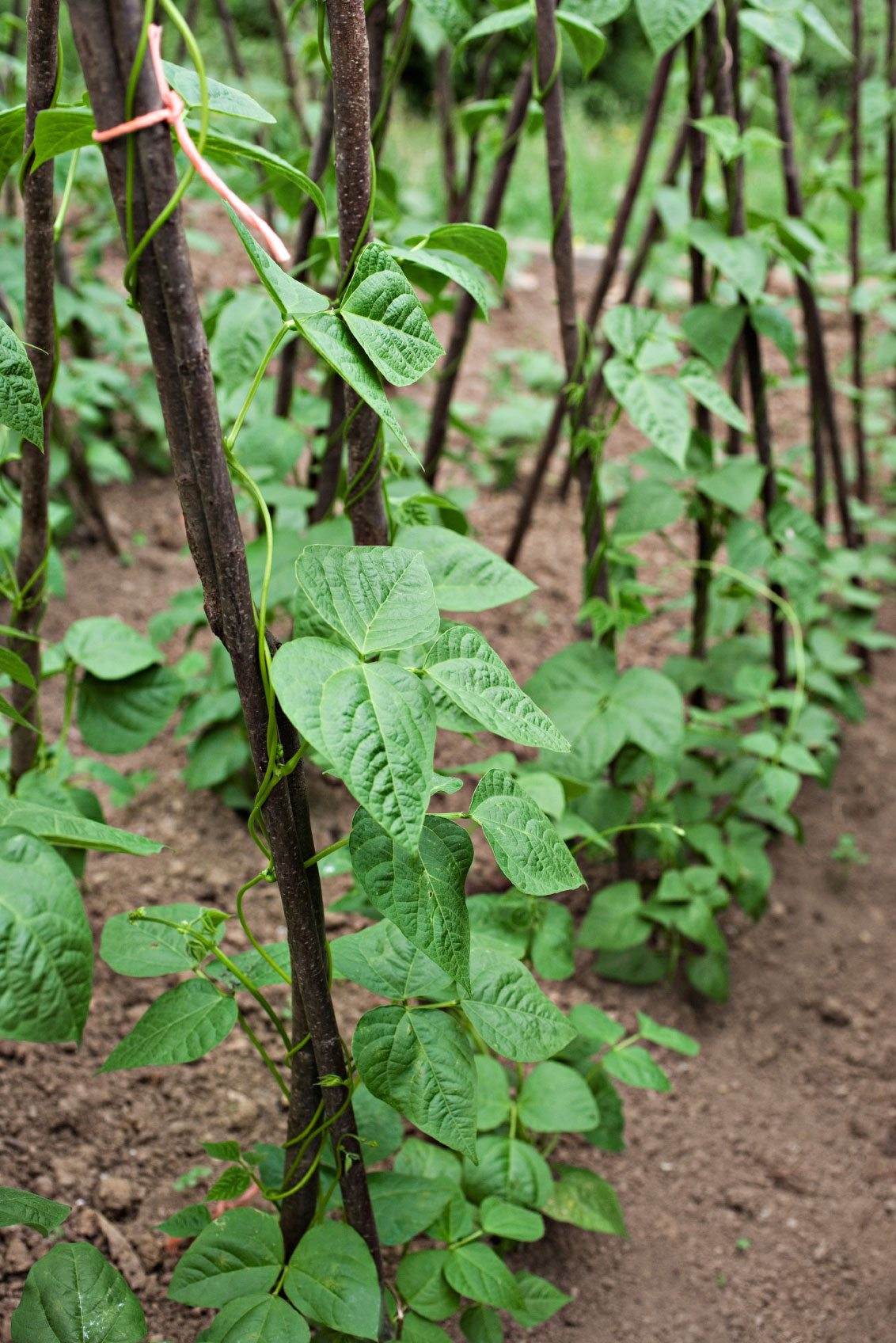 How To Stake Pole Beans Learn More About Pole Bean Supports