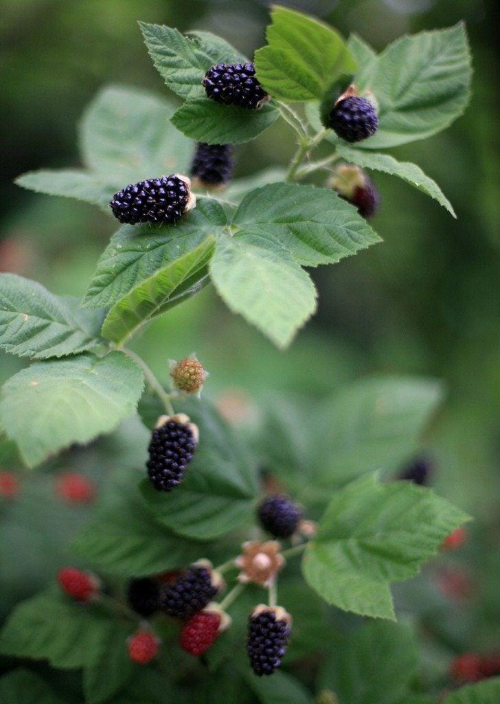 Garden Bush: Growing Blackberry Plants: How To Grow Blackberries