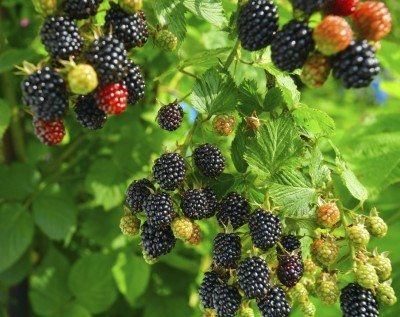 Information On Growing Blackberry Bushes