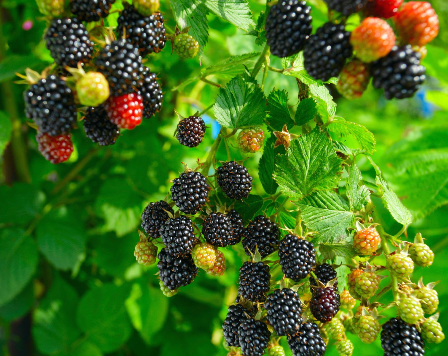 Learn How To Grow Blackberries