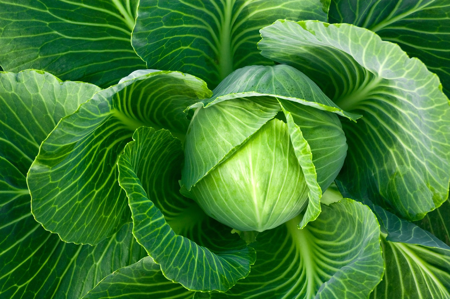 Information On Growing Cabbage