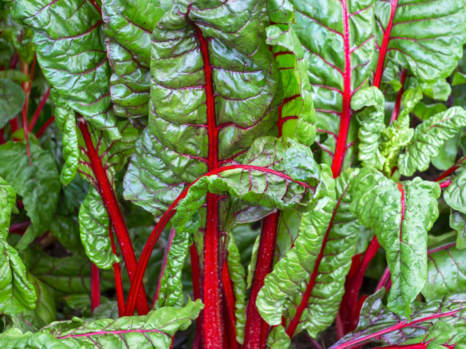 Tips On Growing Swiss Chard How Do I Plant Swiss Chard