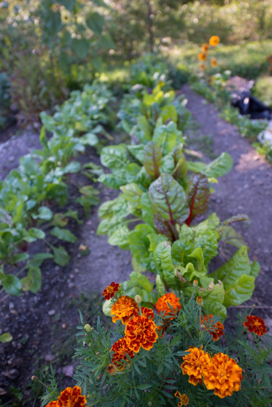 Growing A Companion Vegetable Garden