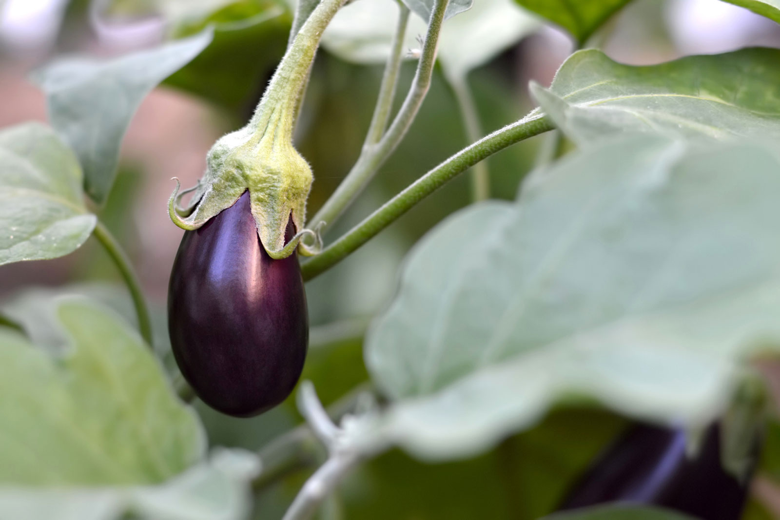 Where To Plant Eggplant How Grow Eggplants In Gardens