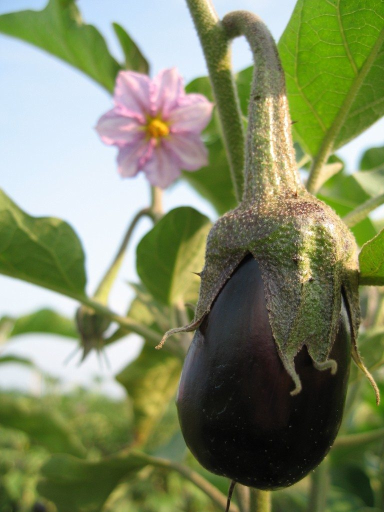 Tips On How To Plant Eggplant Growing Eggplant In The Garden