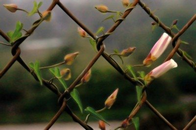 Plants that grow on fences covering chain link fences for Fast growing fence covering plants