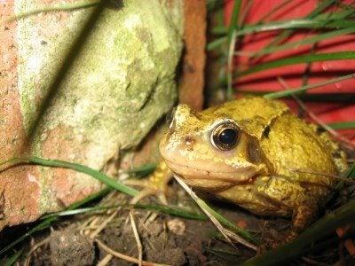garden-toad