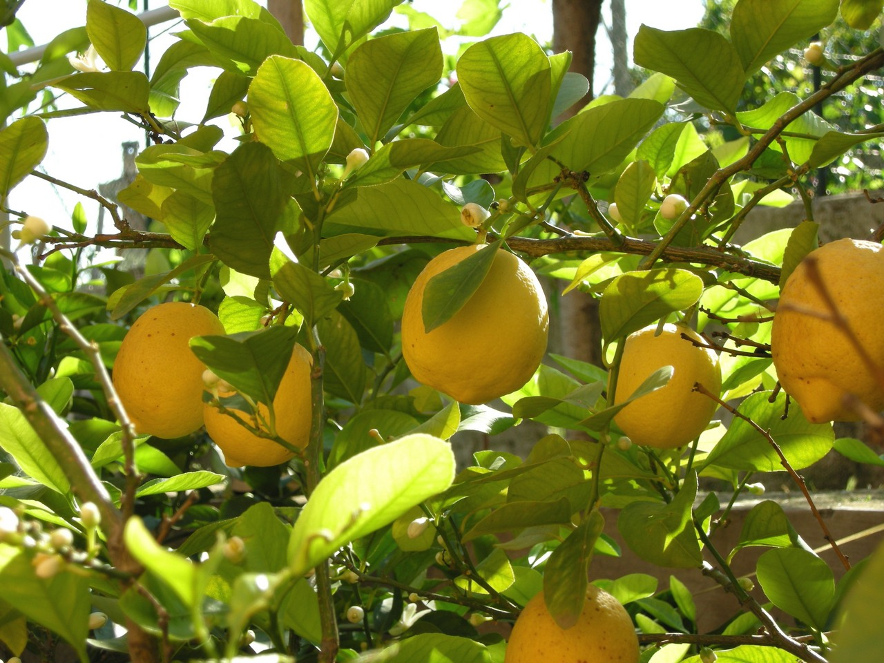 tips for growing lemons in the garden or indoors. Black Bedroom Furniture Sets. Home Design Ideas