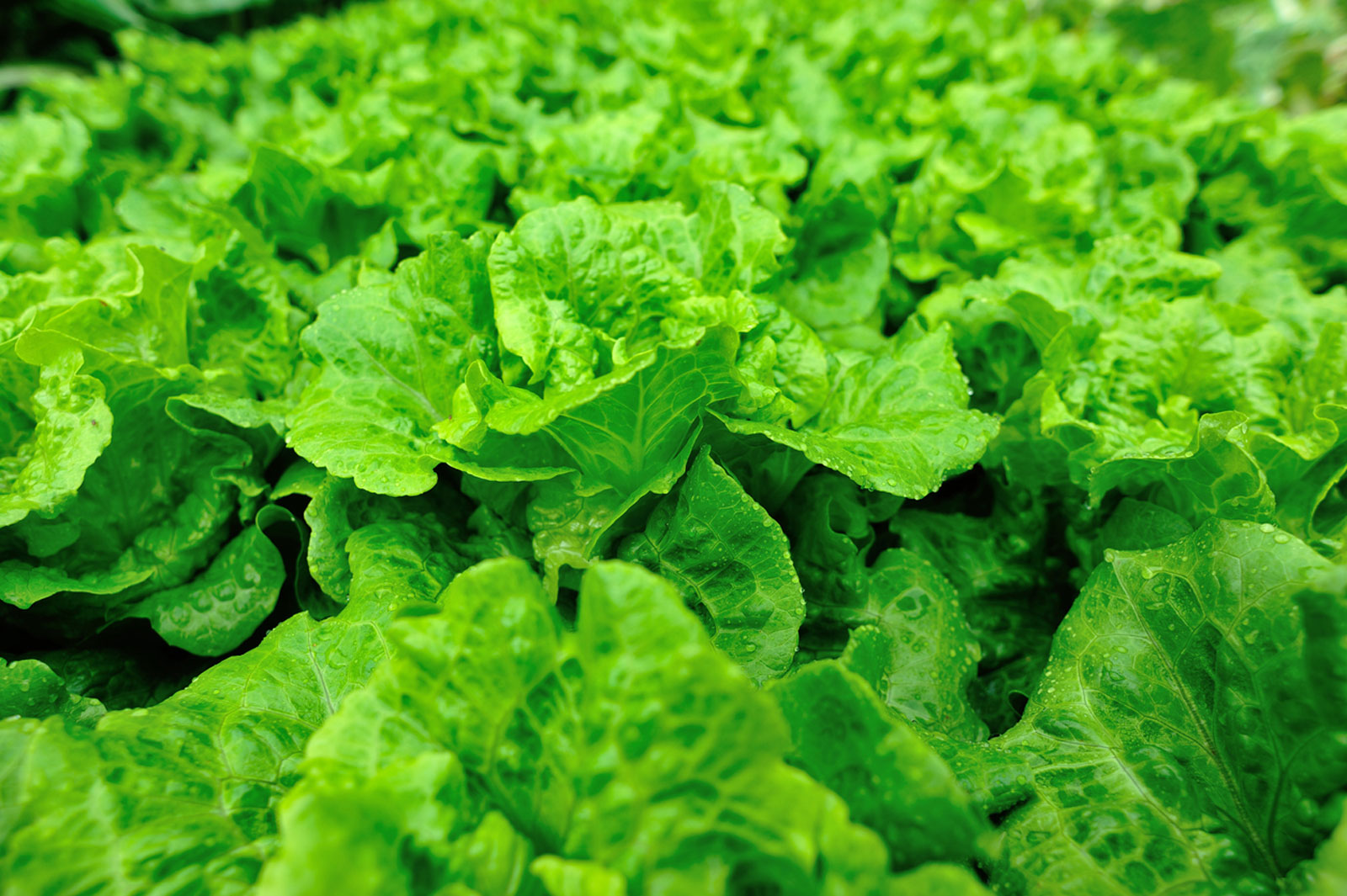 Lettuce Growing Season How And When To