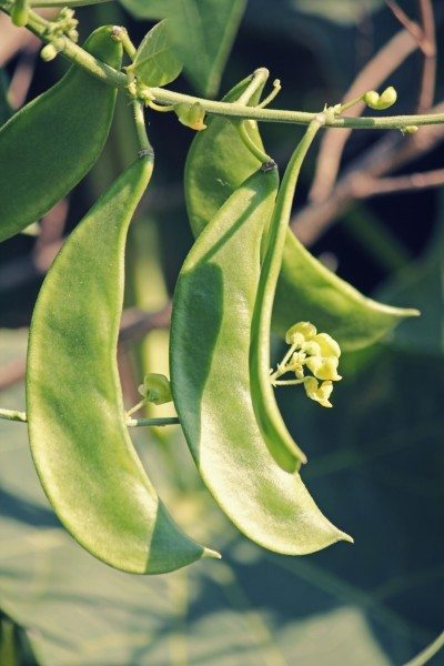 Phaseolus lunatus, butter bean, lima bean