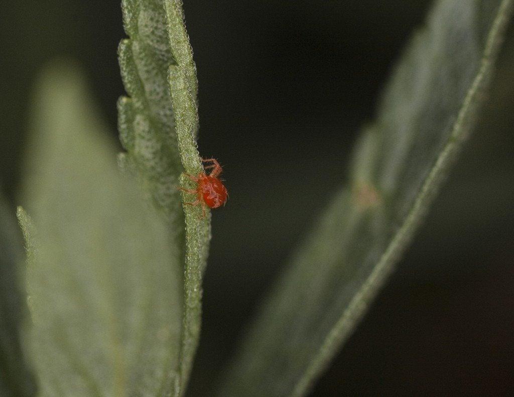 Red spider mites - photo#33