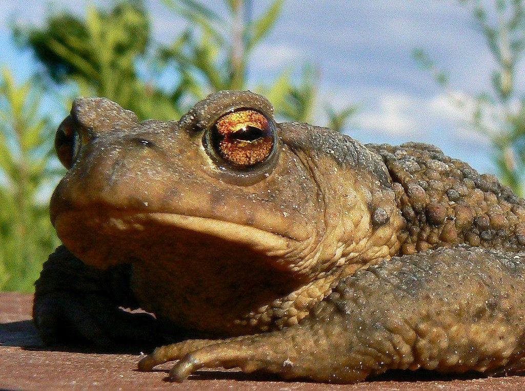 Toads In The Garden - How To Attract Toads - Gardening Know How
